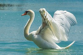 swan-369090__180